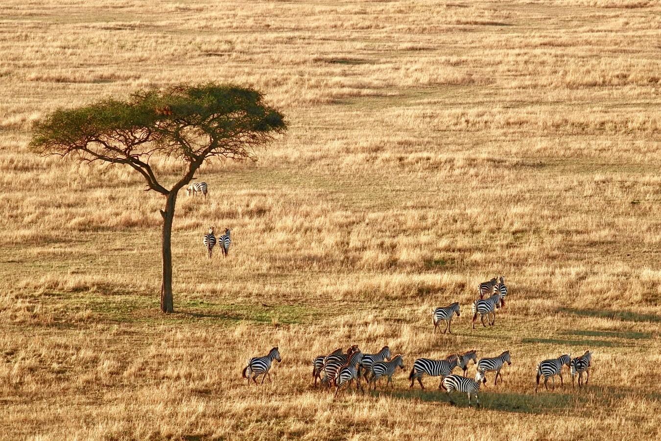 Zèbres dans le Serengeti vus du ciel