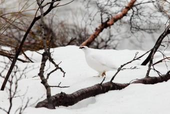 Un Lagopède dans sa parure d'hiver