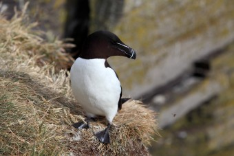 Pingouin Torda ou Petit Pingouin