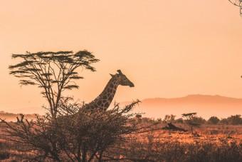 Une girafe en fin de journée dans le Serengeti