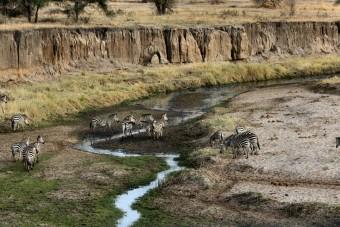 Zèbres le long de la rivière Tarangire
